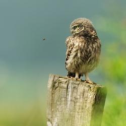 Litttle Owl