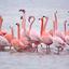 De Grevelingen Flamingo's