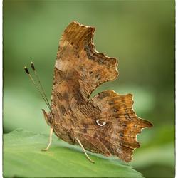 Comma vlinder