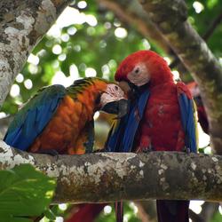 Ara's in Costa Rica