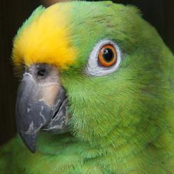 Geelvoorhoofd Amazone Papegaai