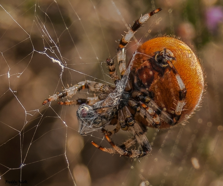 Viervlekwielwebspin aan het spinnen
