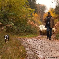 Herder door het herfstbos.....