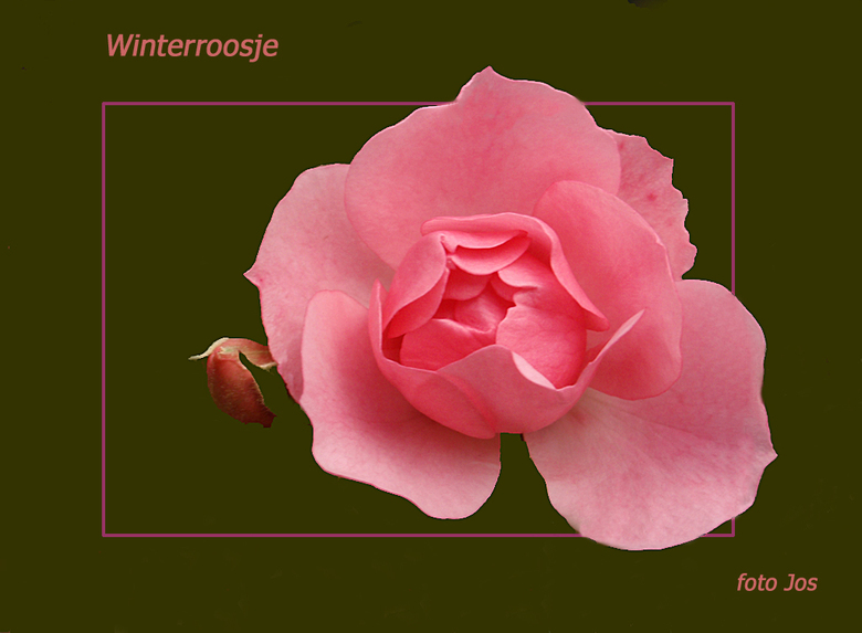 Winterroosje - Da natuur veranderd zo te zien. Vanmiddag zag ik een aantal van deze roosjes in volle bloei. Ieder bedankt voor de reactie op mijn vori