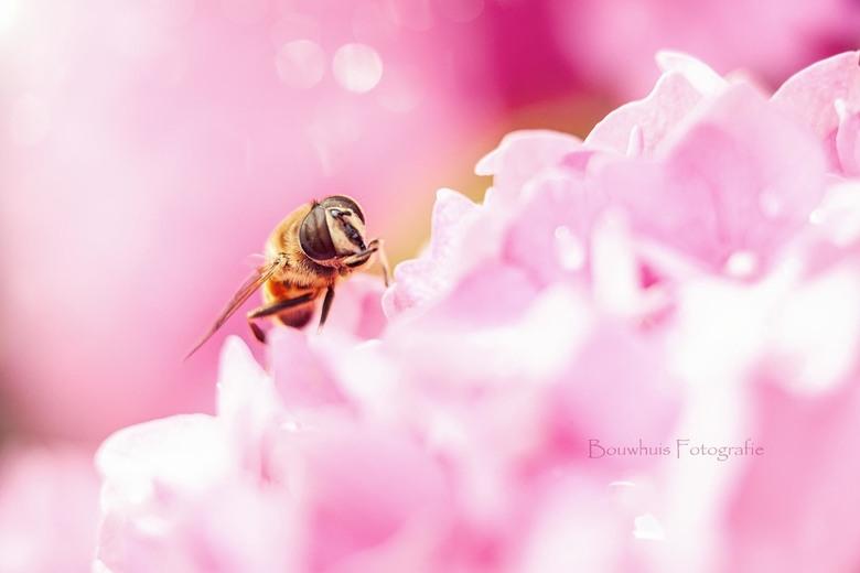 In de tuin... - Een wesp-achtig insect op de hortensia bij ons in de tuin.