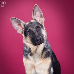 Duitse herder pup door Pet Studio | Hondenfotograaf Sanne Mik