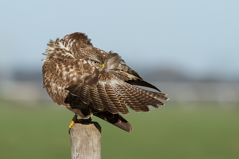cleaning feathers - deze buizerd is heel relaxed zijn veren aan het poetsen en heb er ruim 500 foto's van kunnen maken dit nr2 uit de serie , ied
