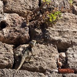 Reptiel in Rhodos oude stad Griekenland