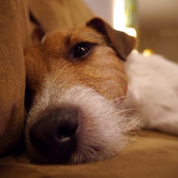 Dromerige hond