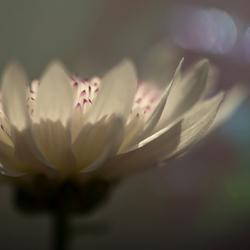 chrysantbloemetje