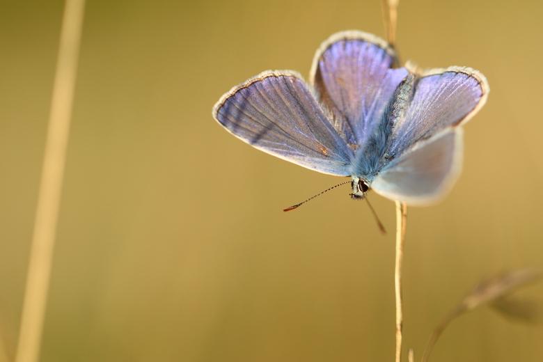 Blauwtje  - Op zoek naar vlinders, op het moment dat je denkt er zit niks, hangen ze gewoon op de kop aan grassprieten. Onopvallend genietend van de l