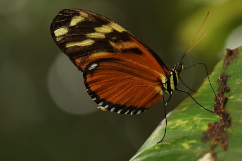 heliconius Hecale - Het blijft toch één van mijn favoriete vlinders in de vlindertuin. <br /> <br /> Bedankt voor alle leuke en mooie reacties op m