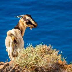 Geiten op Fuerteventura