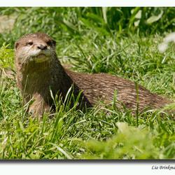 otter in natuurpark Lelystad