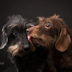 Dachshund kisses