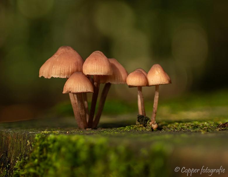 Paddenstoelen - Dit groepje paddenstoelen zocht het hogerop op deze van mos voorziene afgezaagde boomstam.
