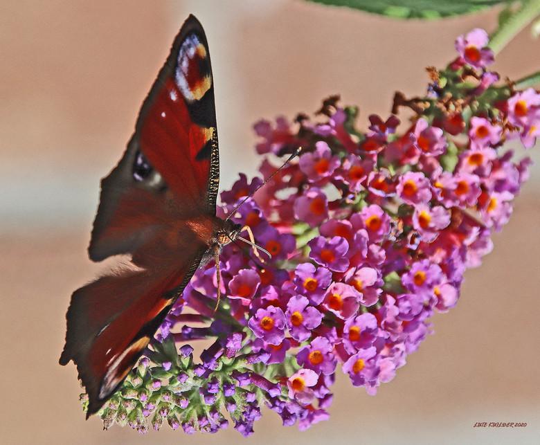 Dagpauwoog op de vlinderstruik - Dagpauwoog op de bloem van de Vlinderstruik.