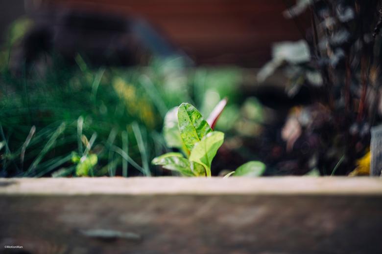 Sla - Verse sla in de tuin.<br /> <br /> <br /> <br /> <br /> ©MotionMan 2019