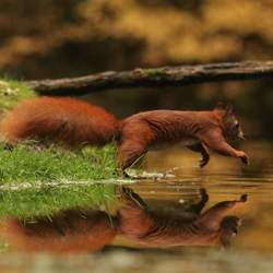 Eekhoorn met spiegelbeeld