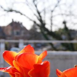 tulpen op de brug