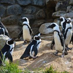 Familie Pinguïn