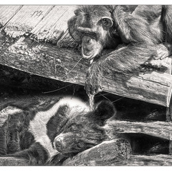 apen zijn pestkoppen...............