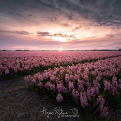 Pink Hyacinths...