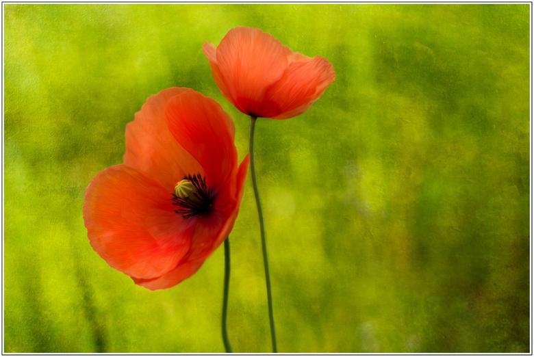 Poppies - Deze klaproosjes stonden zo mooi met hun tweeën in het veld, dat moest gefotografeerd worden.<br /> <br /> Fijne zondag!<br /> <br /> Gr
