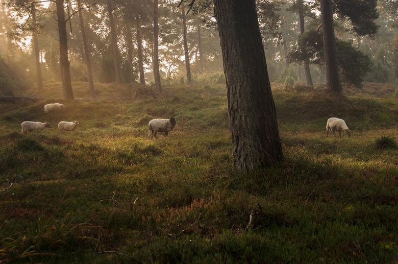 Schapen in het bos  - Schapen die op het Dwingelderveld grazen zijn regelmatig in het omliggende bos te vinden.