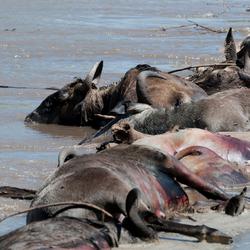 Verdronken Gnoes - Grumeti River - Tanzania
