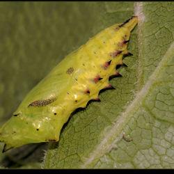 De pop van de dagpauwoog zit met spinsel vast aan het blad.