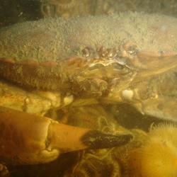 noordzee crab