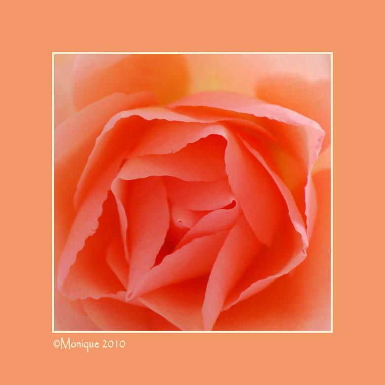 """Rooskleurig - Speciaal voor Yvonne..<img  src=""""/images/smileys/wilt.png""""/><br /> <br />"""