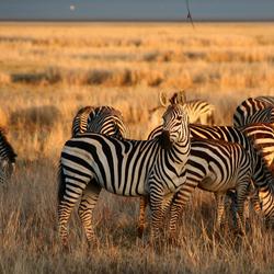 Zebra's in het gouden ochtendlicht