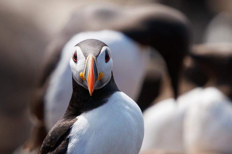 Papegaaiduiker poseert voor zeekoet -