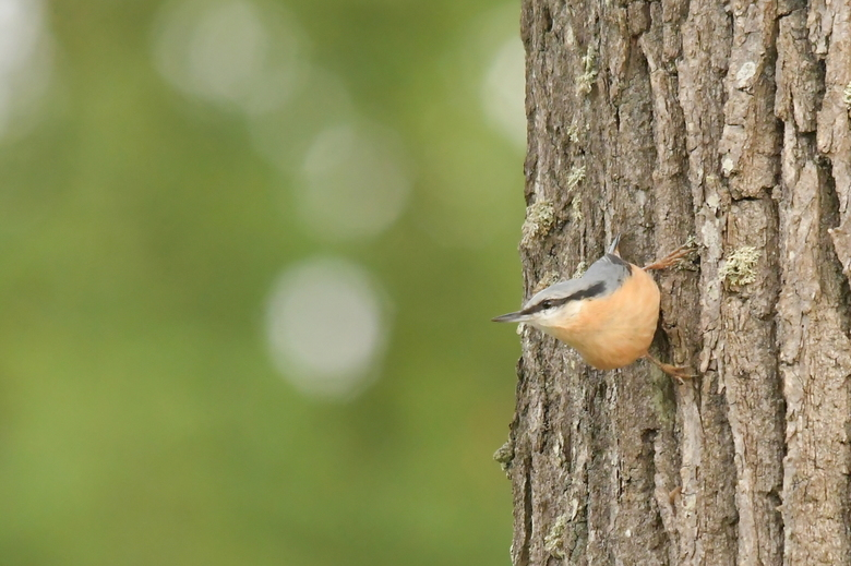 """klevertje - De acrobaat onder de vogeltjes """"de boomklever"""""""