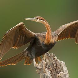 Afrikaanse-slangenhalsvogel