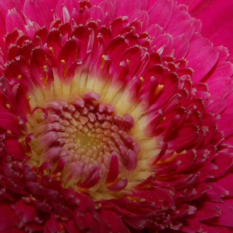 Pink en Yellow - Foto gemaakt van het hartje van een gerbera. Wat vinden jullie ervan?
