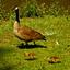 Moeder en Baby eendtjes
