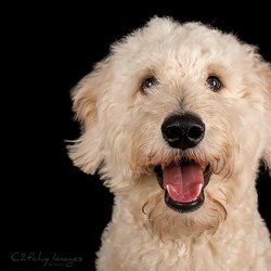 Spike - Golden Poodle