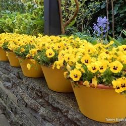 geel,geler,geelst