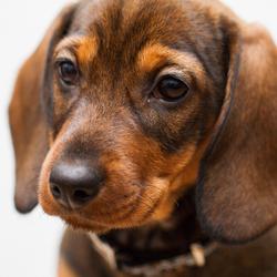 Puppy eyes (10 weken)