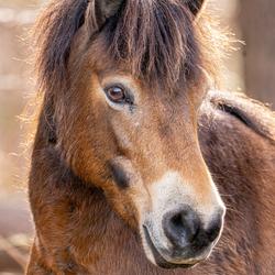 Portret Exmoor Pony