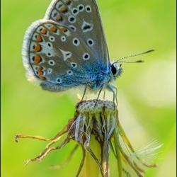 Icarus blauwtje.