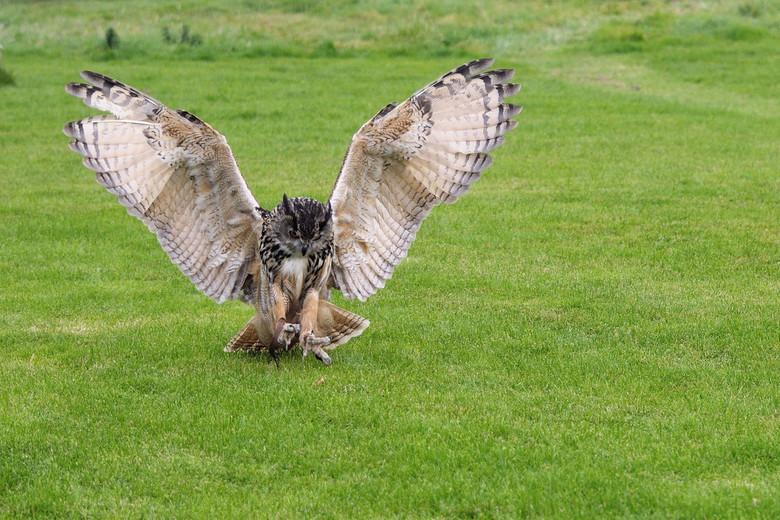 Otto's landing - Deze foto heb ik 2 jaar geleden genomen in het Bird of Prey Centre in Lake District. Na een paar maanden een fotocursus gedaan te heb