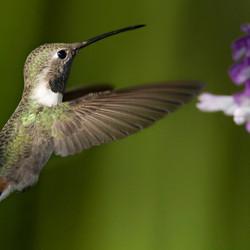 Kolibrie vliegt aan