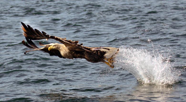Zeearend - Op het eiland Mull vangt een Zeearend vis uit het water