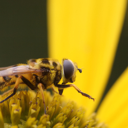 Fly in Yellow