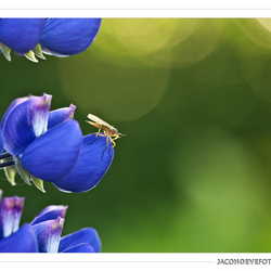 Lupine en insect (1)