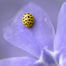 ladybug in purple
